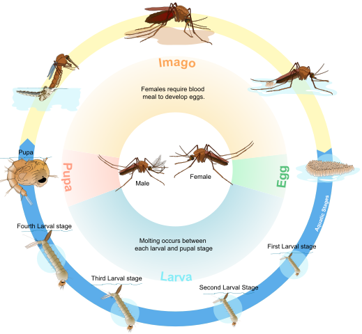 MosquitoLifeCycle2